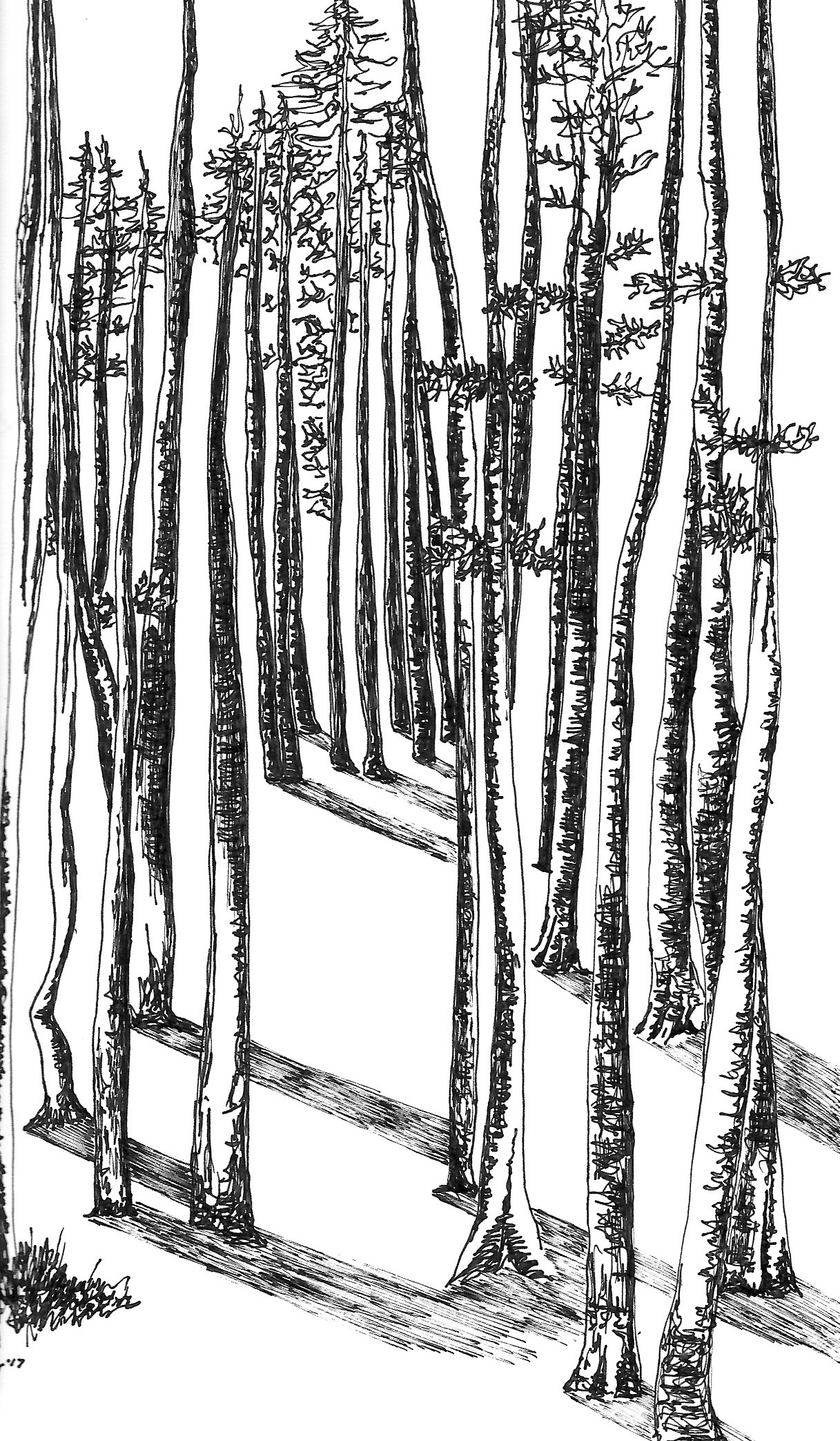 steinharter breckenridge aspen trees black and white pen drawing