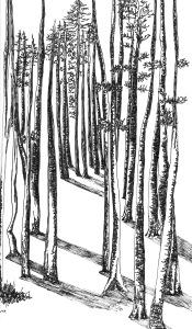 steinharter breckenridge aspen trees black and white pen drawing