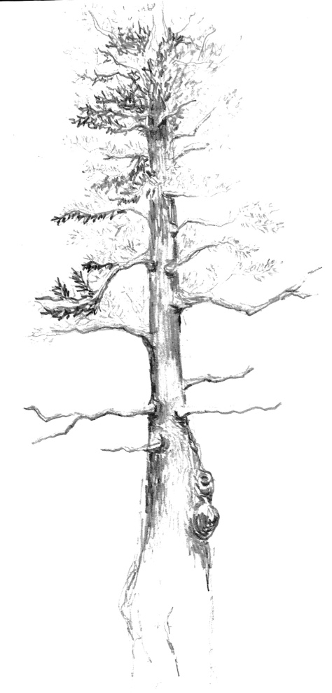 steinharter maine pine tree drawing